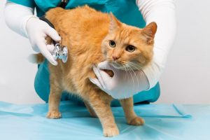 A cat getting pet vaccinations in Delta, PA